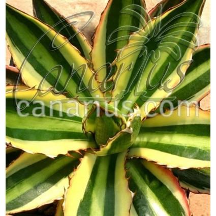 Agave lophantha quadricolor