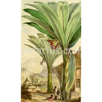 Ensete ventricosa - Abyssinian Banana