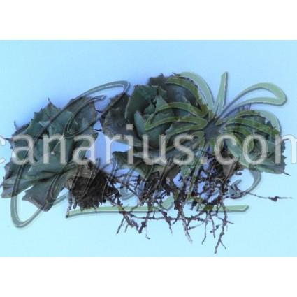 Agave potatorum cv. Shoji Rajin