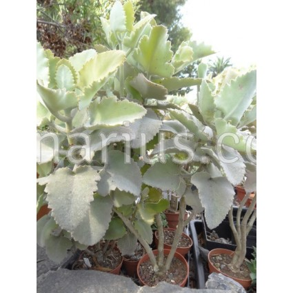Kalanchoe beharensis cv. 'Rose Leaf'