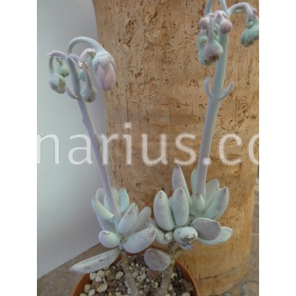 Cotyledon orbiculata var. higginsiae