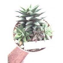 Astroloba spiralis ssp. foliolosa 'Pentagona'