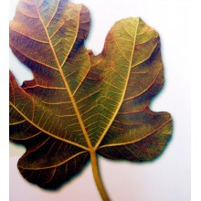 Ficus carica 'Breverilla Blanca' Canarian Fig