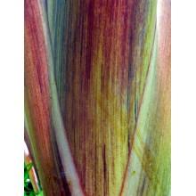 Colocasia esculenta 'Manini 'Owali'