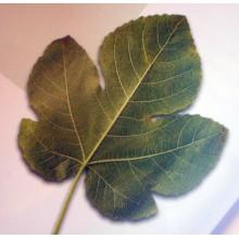 Ficus carica 'Blanca' - Canarian Fig