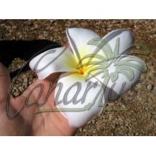 Plumeria Daisy Wilcox
