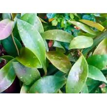 Hoya sipitangensis