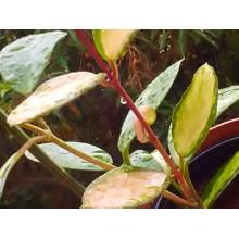Hoya andalensis