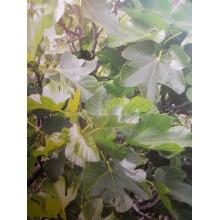Ficus carica 'Boba' - Canarian Fig