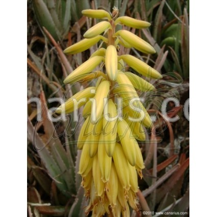 buy aloe vera 1 kg large plant with canarius. Black Bedroom Furniture Sets. Home Design Ideas