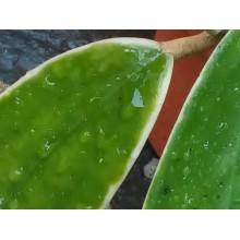 Hoya acuta 'Variegata'