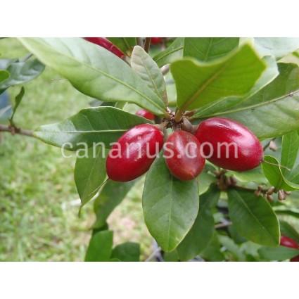 Synsepalum dulcificum - Miracle Fruit