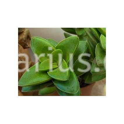 Crassula pubescens ssp. pubescens