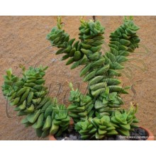 Crassula pubescens `Bride`s Bouquet`