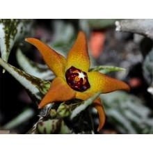 Angolluma (Orbea) gemugofana