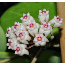 Hoya parasitica