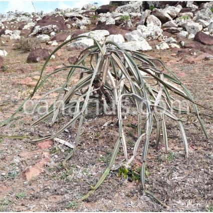 Cissus hamaderoensis