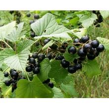 Ribes nigrum 'Titania'- Blackcurrant