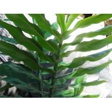 Zingiber macradenium