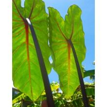 Colocasia esculenta 'Ula'ula Kumu'