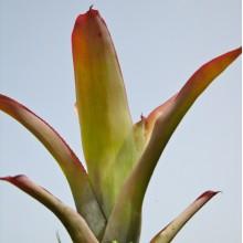 Hohenbergia penduliflora