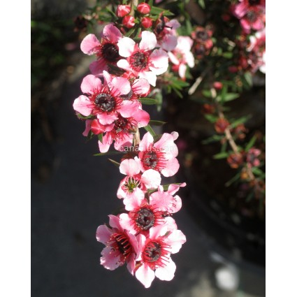 Leptospermum scoparium - Manuka Tea Tree