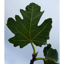 Ficus carica 'Madeleine des deux seasons' - Hardy Fig