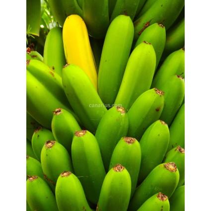Musa cv. Cavendish Grand Naine - Banana Tree