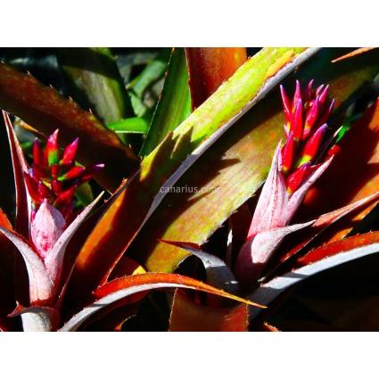x Cryptbergia Red Burst
