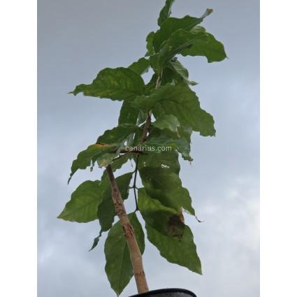 Bunchosia argentea