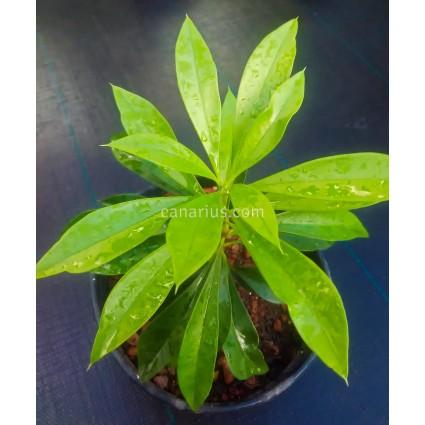 Plumeria cv. Daisy Wilcox