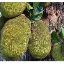 Artocarpus heterophyllus - Jaca, Jackfruit