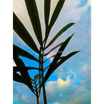Cycas micholitzii
