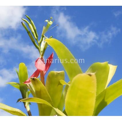 Billbergia amoena var. stolonifera