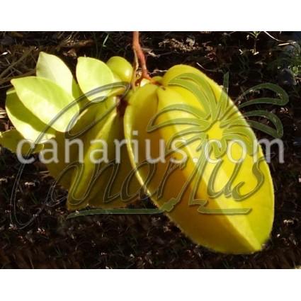 Averrhoa carambola cv. Sri Kenbangan