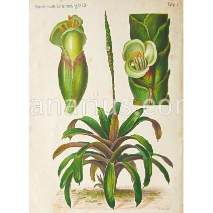 Vriesea Gladioliflora