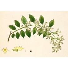 Salvadora persica - Toothbrush Tree