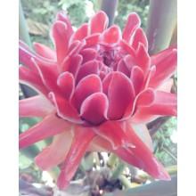 Etlingera elatior 'Pink' - Pink Torch Ginger