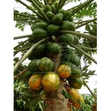 Carica papaya cv. Bh65