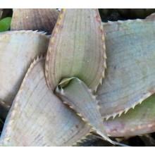 Aloe imalotensis var. imalotensis