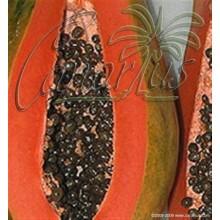 Carica papaya cv. Maradol Roja - Cuba