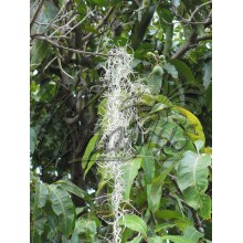 Tillandsia usneoides - Spanish Moss, Airplant