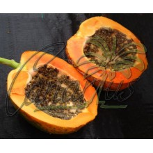 Carica papaya  'Red Lady F1' (786)