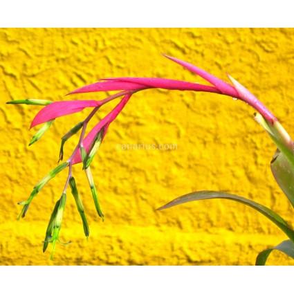 Billbergia nutans var. schimperiana