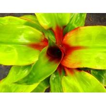 Aechmea tayoensis 'Short Petioles'