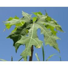 Cnidoscolus aconitifolius - Chaya Tree Spinach