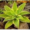 Agave attenuata variegata Tenerife