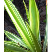 Yucca gigantea 'Jewel'