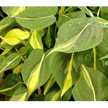 Philodendron hederaceum 'Brasil'