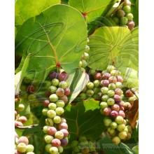 Coccoloba uvifera - Uva de Mar, Sea Grape